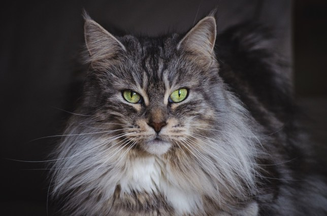 Largest Domestic Cats You Can Adopt And Things You Should Know