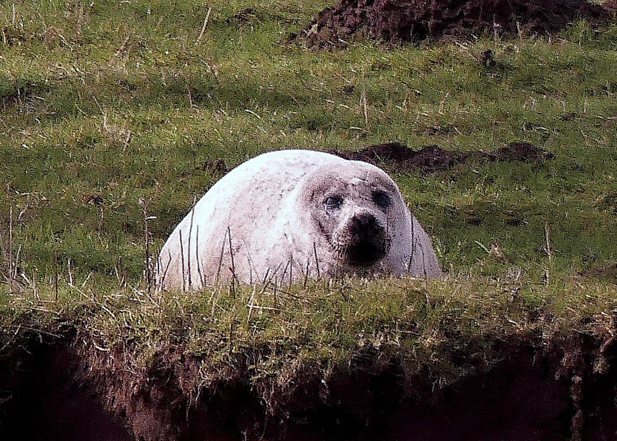Date 12/08/2018 File picture taken earlier this year NOTE Please byline pic Karen Hargreave/NorthNews A seal which was spotted in rural North Yorkshire in April this year after chasing fish some 50-miles inland has died after being captured by marine life rescuers, who had spent months trying to corner the animal. The seal hit the headlines earlier this year when it was spotted and photographed by stunned local Karen Hargreave at Topcliffe Weir near Thirsk. See copy by North News