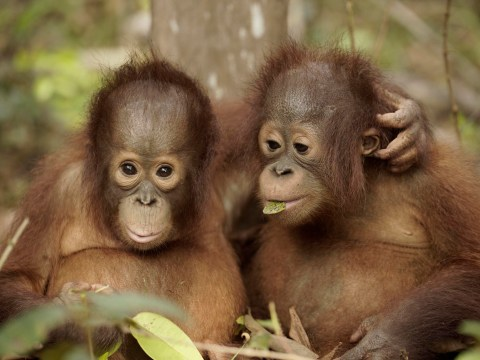 Teen orangutan mum reunited with baby after it was kidnapped