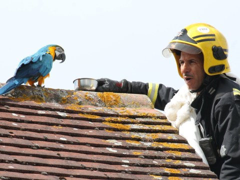 Parrot tells firefighter to 'f**k off' after getting stuck on roof