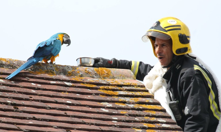 A parrot stuck on a roof for three days had choice words to say to firefighters who came to its aid this morning. Jessie the Macaw parrot had escaped its home in Cuckoo Hall Lane, Edmonton and spent three days sitting on a neighbours roof.See story NNPARROT. With Jessie?s owner and the RSPCA unsuccessful in their attempts to lure the parrot down, the Brigade was called. Watch Manager Chris Swallow, who was at the scene, said: ?Jessie had been on the same roof for three days and there were concerns that she may be injured which is why she hadn?t come down. ?Our crew manager was the willing volunteer who went up the ladder to try and bring Jessie down. We were told that to bond with the parrot, you have to tell her ?I love you?, which is exactly what the crew manager did. ?While Jessie responded ?I love you? back, we then discovered that she had a bit of a foul mouth and kept swearing, much to our amusement. Jessie also speaks Turkish and Greek, so we tried telling her to ?come? in both those languages too.? Credit :@Londonfire