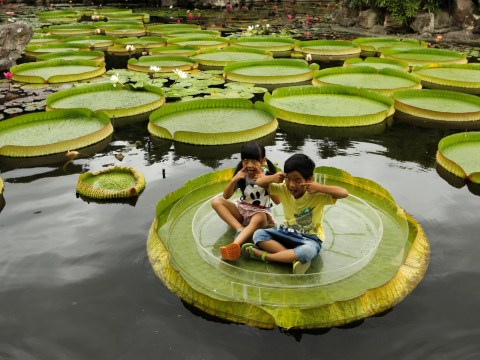 These giant water lilies are so big you can sit on them and float around