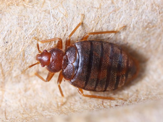 Close up cimex hemipterus on corrugated recycled paper, bedbug, blood sucker; Shutterstock ID 131698883; Purchase Order: -
