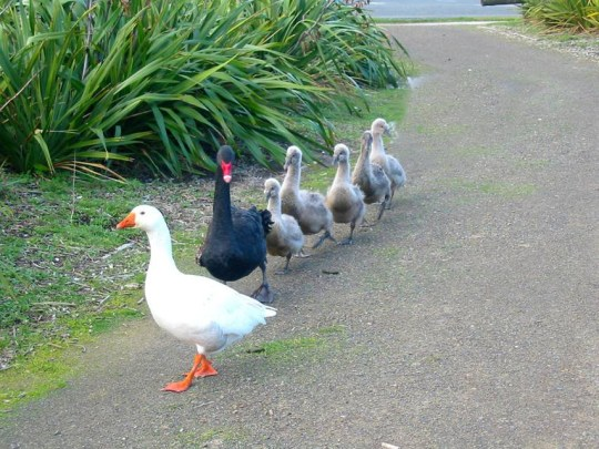 Thomas the goose died 6 February at almost 40 years old and is being buried beside his partner on Saturday. Thomas first rose to celebrity when he was a young male in the gaggle at Waimanu Lagoon. There, he was observed shunning other geese in favor of the company of a male black swan named Henry. The couple were together for 18 happy years before a female swan, Henrietta, flew into the picture. Henry and Henrietta began to nest together, but instead of the traditional monogamous pair bond normally shared among both geese and swans, Thomas stuck around and they became a dedicated triangular unit.