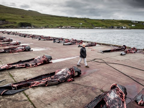 Graphic images of whale slaughter in the Faroe Islands