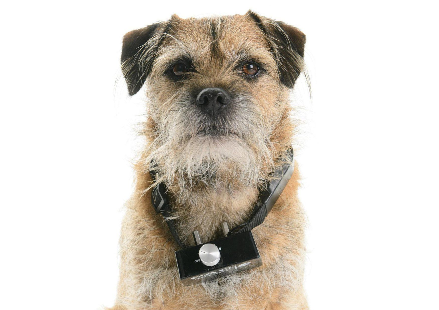 """Undated handout photo issued by Dogs Trust of a dog wearing an electric shock collar. Electric shock collars for dogs and cats are set to be banned, Environment Secretary Michael Gove is expected to announce this week. PRESS ASSOCIATION Photo. Issue date: Sunday August 26, 2018. Used as training devices, the remote controlled collars can trigger an electric pulse of varying strength, or spray noxious chemicals at the animal. Mr Gove, who has described Britain as a """"nation of animal lovers"""", is imminently poised to reveal the move to prohibit their sale, the Mail on Sunday has reported. See PA story POLITICS Collars. Photo credit should read: Clive Tagg/Dogs Trust /PA Wire NOTE TO EDITORS: This handout photo may only be used in for editorial reporting purposes for the contemporaneous illustration of events, things or the people in the image or facts mentioned in the caption. Reuse of the picture may require further permission from the copyright holder."""