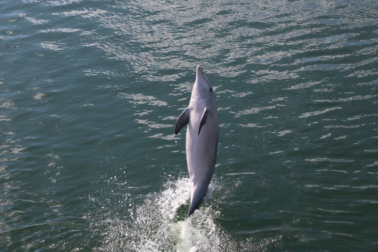 Dolphin who learned to walk on its tail teaches nine others how to do it after being released into the wild