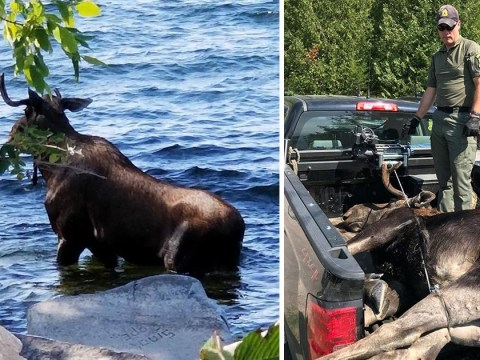 Moose drowns after being scared into water by people taking pictures