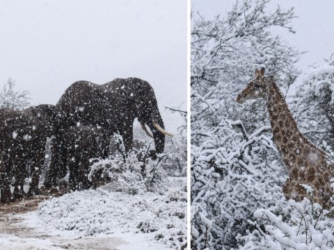 Incredible pictures show elephants and giraffes caught in rare South Africa snow storm