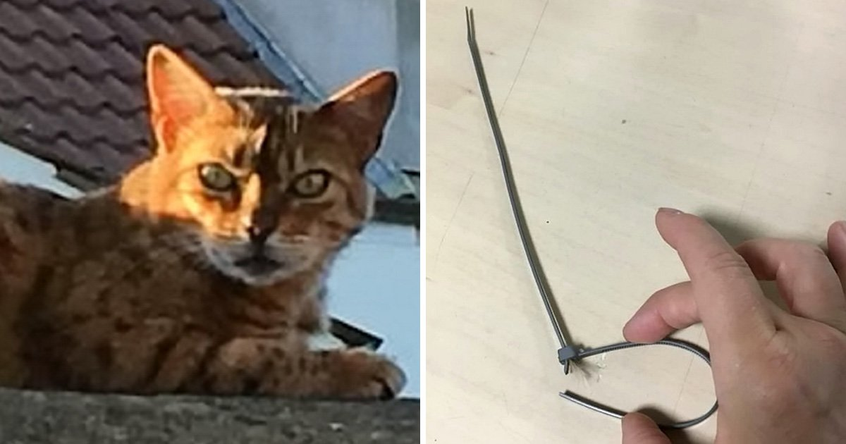 Cat found choked to death with cable tie in 'vile' abuse