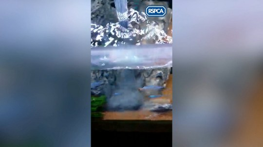 Video grabs of the goldfish being killed by Serena Reynoldson. Serena received a suspended sentence at Oxford Magistrates Court for killing her boyfreind's goldfish with bleach. See story SWFISH.