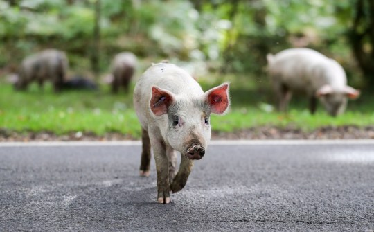 Domestic pigs roam the roadside near to Burley in Hampshire, on the first day of Pannage, or 'Common of mast', where the animals are allowed to wander in the New Forest during a set time in the Autumn to feast on the acorns that have fallen, which in large quantities are dangerous for the ponies and cattle. PRESS ASSOCIATION Photo. Picture date: Monday September 10, 2018. This year's pannage season runs from September 11th to November 11th. Photo credit should read: Andrew Matthews/PA Wire