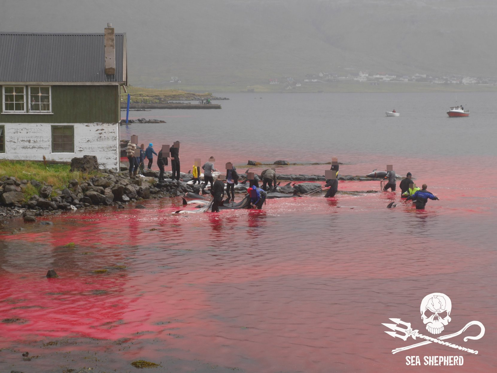 Sea turns red with blood as 100 white dolphins and whales are slaughtered by fishermen