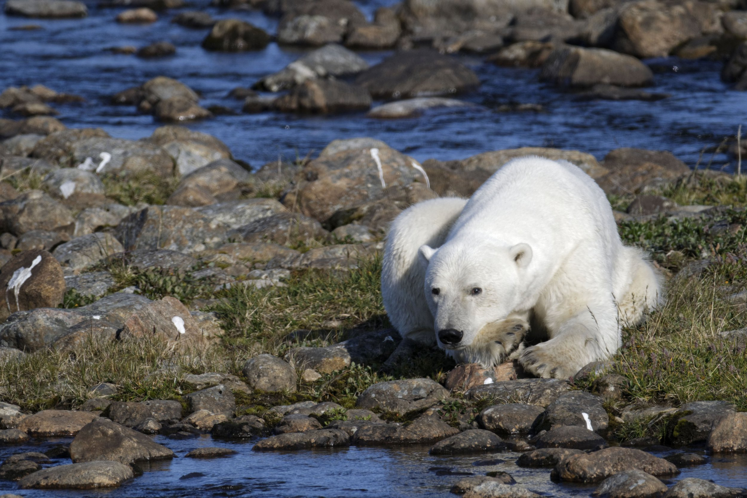 **MANDATORY BYLINE** PIC FROM Patrick Kientz/Caters News - (PICTURED: The lonely polar bear wandering around Torngat National Park, Labrador, Canada) - A lonely polar bear has been caught wondering across snow-less terrain. Patrick Kientz, 59, was visiting Torngat National Park, Labrador, Canada, last year August when he saw the lonesome bear.The photographer managed to snap the bear trying to catch fish as he roamed around alone.SEE CATERS COPY