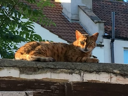 """13-year-old beloved tabby Tiger-Lily. See SWNS story SWCAT; Bristol cat owner distraught after cat found choked to death with cable tie. A devastated woman was left heartbroken after she found her cherished pet cat had been choked to death near her home. Lisa Walker, 52, arrived back at her home to find her 13-year-old beloved tabby Tiger-Lily dead with the plastic device clinging tightly around her neck. The 52-year-old believes that her cat was killed between 7am and 9.30am on Monday, September 10th after leaving to go to work and returning to check on her daughter who was suffering from homesickness. Lisa, from St George, Bristol, said: """"Some evil, vile and nasty person has killed our beautiful cat."""