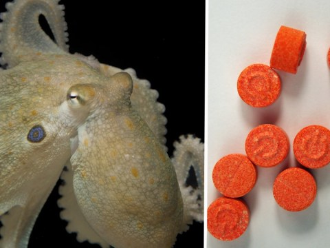 Octopuses who take ecstasy behave just like pill-popping human ravers, scientists find