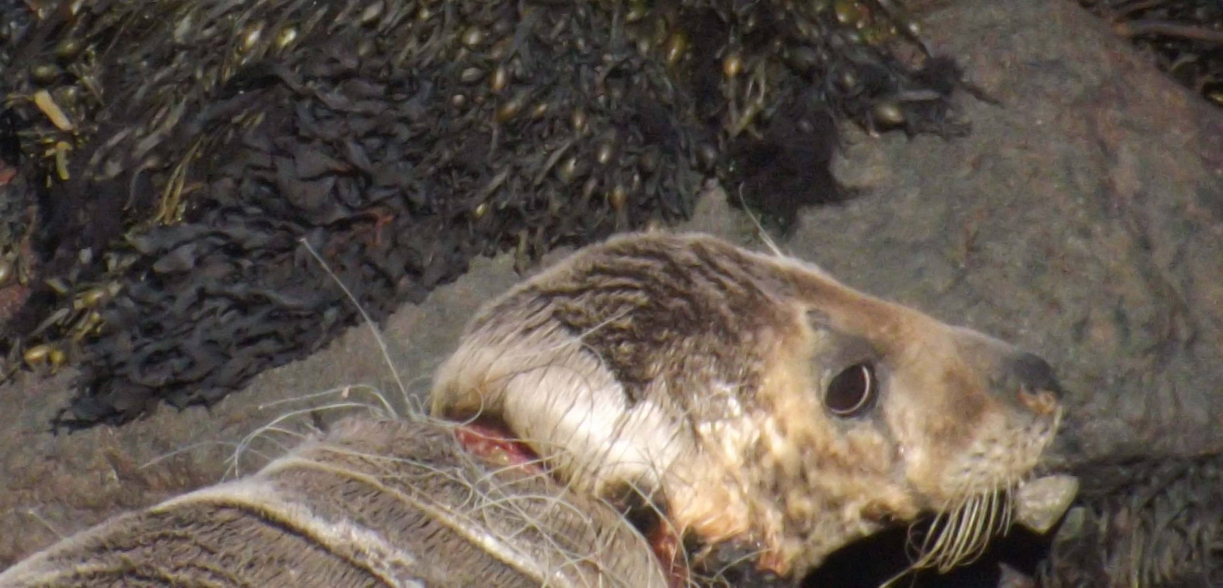 (Picture: Sharon Lawrence) These heartbreaking images show a severely injured seal being strangled by plastic waste on a beach. The young animal was pictured in Pembrokeshire, southwest Wales, with plastic fishing netting tangled around its neck. The images were captured by Sharon Lawrence who said she was 'heartbroken' to see the seal in such distress.
