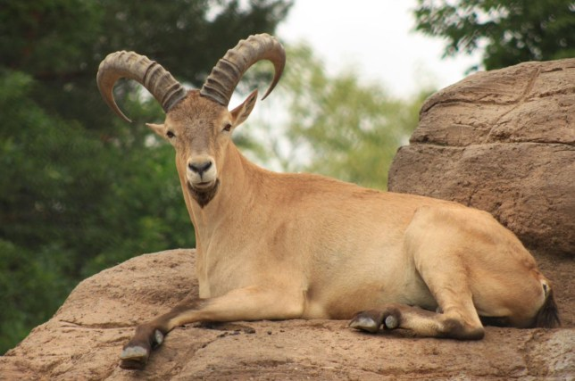 """An appeal put out by Devon&Cornwall Police. A goat-antelope described as a """"danger to the public"""" has escaped from Paignton Zoo. See SWNS story SWZOO. Specialists and police officers are searching for the mountain-dwelling West Caucasian tur, which broke free from its enclosure earlier. It is thought to be in Clennan Woods at Goodrington, which backs on to the zoo. A spokesperson for Devon and Cornwall Police said: """"As you can see, it is a horned beast and could be a danger to the public if startled. """"If you see the tur, please make no efforts to corner it and call the police immediately."""""""
