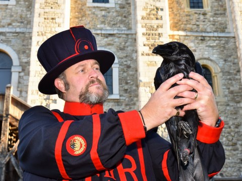 My odd job: I look after the ravens at the Tower of London so the Kingdom doesn't fall
