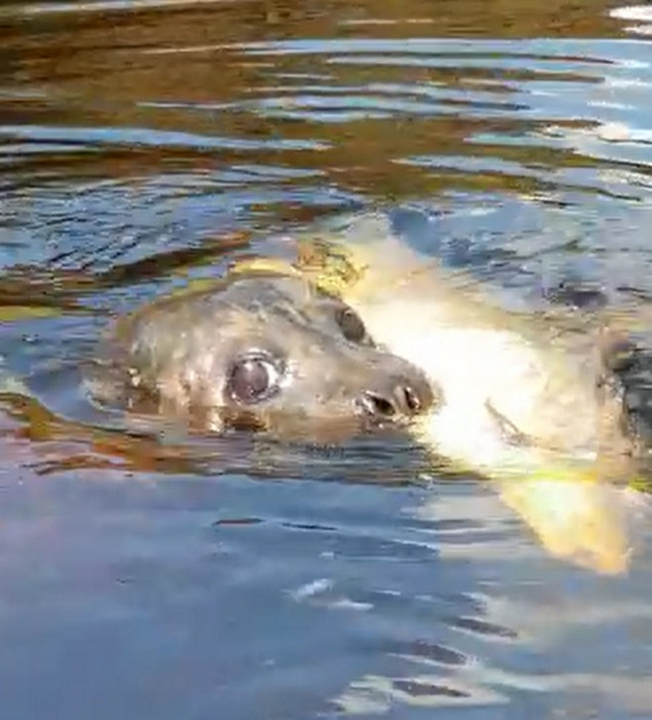 PIC FROM Kennedy News and Media (PICTURED: COMMON SEAL SPOTTED IN RIVER TEES, 26 MILES INLAND FROM NORTH-EAST COAST) A dad's recent canoe trip may be the luckiest yet - after he spotted a 'marathon' seal 26 MILES inland who had caught a fish that zoologists told him could be a new species. This lively seal was spotted enjoying a well-deserved meal after swimming the equivalent of a full marathon inland to the River Tees, outside Darlington, County Durham. Martin Landers, 51, was canoeing on the river earlier this month and estimates the animal had swam 26 miles from its usual habitat on the North-East coast. SEE KENNEDY NEWS COPY - 0161 697 4266