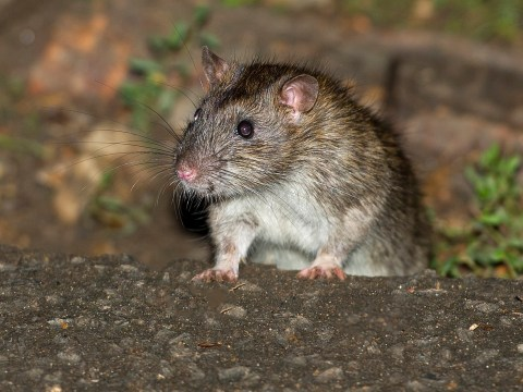 World's first human case of 'rat disease' discovered in Hong Kong