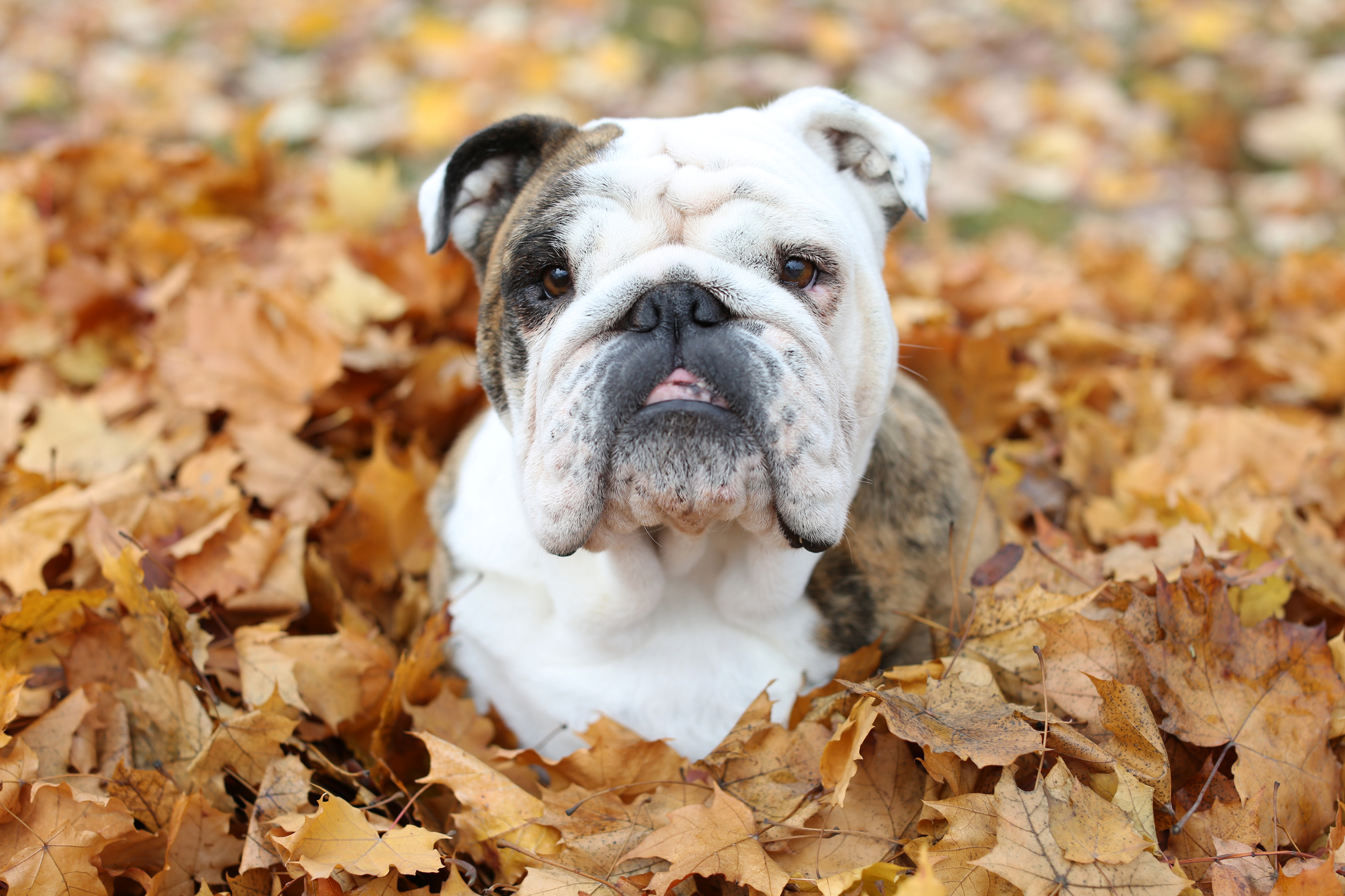 Here's why conkers are dangerous for your dog