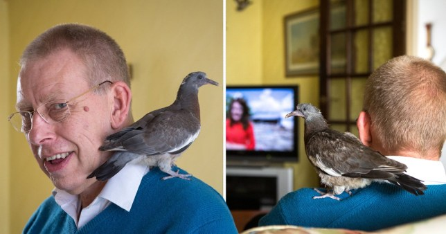 A retired man has ended up as mum to an abandoned pigeon chick he found, feeding it on cheese and letting it ride on his shoulder