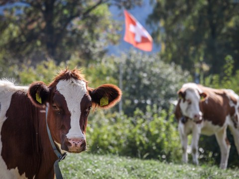 Swiss firm makes cow food that reduces farts and burps to cut climate change