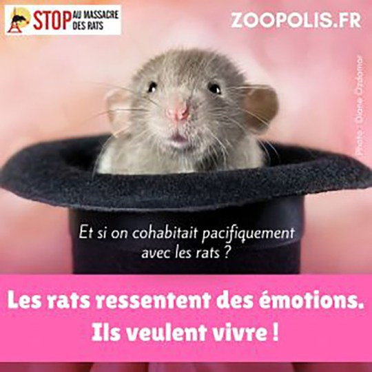 https://zoopolis.fr/stop-au-massacre-des-rats/Animal rights group calls for people to stop killing rats saying they're 'sensitive' animals