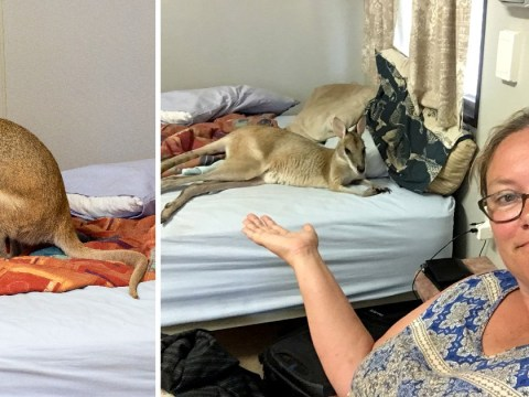 Woman finds wild wallaby enjoying a nap in her bed