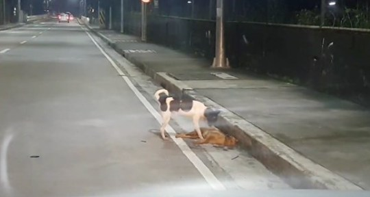 This is the heart-breaking moment a stray dog was seen frantically trying to revive its friend - killed on the roadside after a hit-and-run. The white and black Aspin breed was seen desperately scratching and pawing at the brown mongrel in Quezon City, Philippines on August 14. He even gently prodded the mutt's head and tried to lift her leg up in her mouth in a last-ditch bid to rouse her to her feet. The male dog spent several minutes trying to wake the dead female before reluctantly giving up and slinking away along the pavement. Onlooker Jay Villanueva was driving home when parked up to record the scene which he said ''broke my heart''.