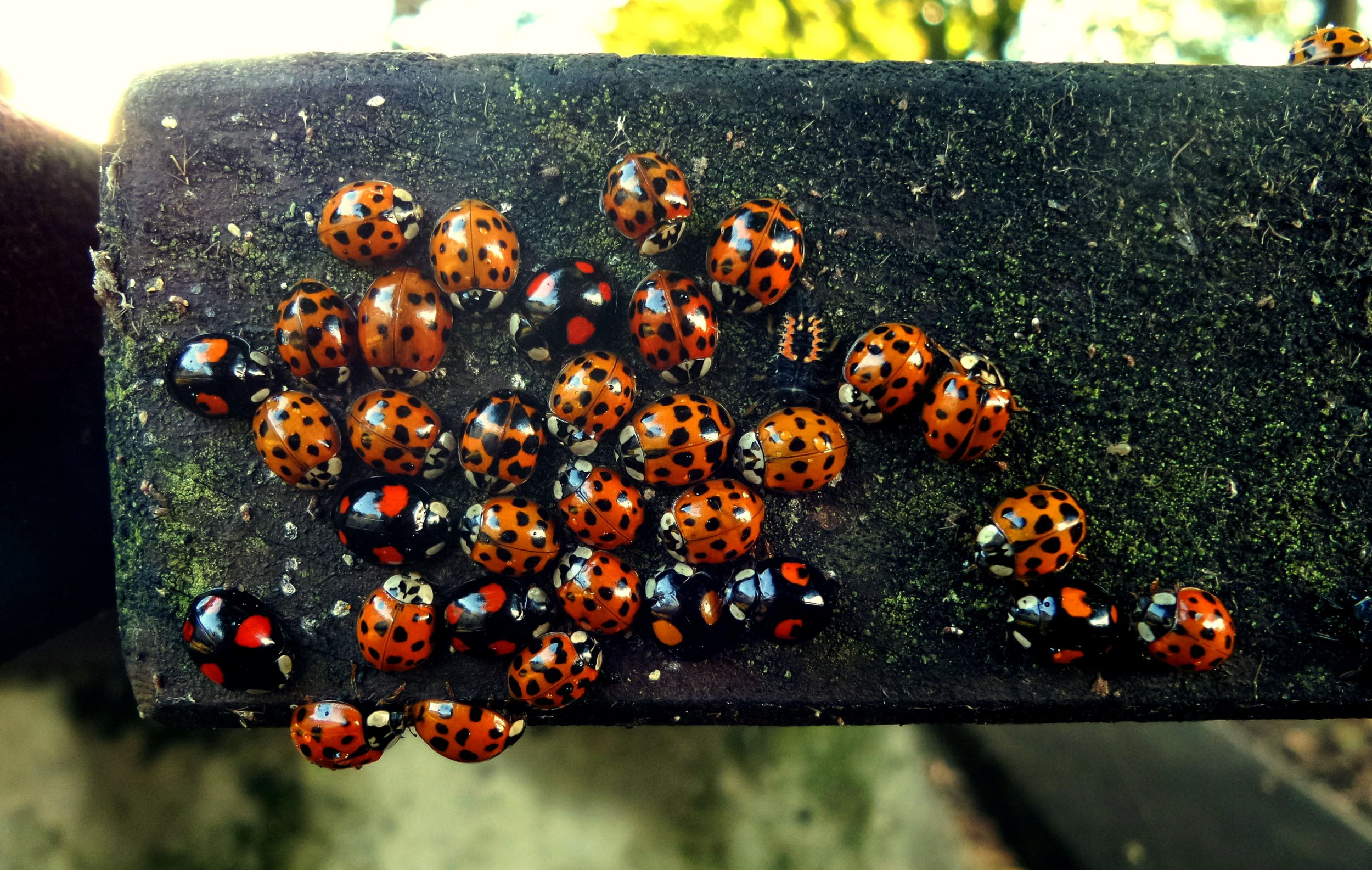 Mandatory Credit: Photo by REX/Shutterstock (4217784b) Harmonia Axyridis ladybird gathering Ladybirds on a picnic table, Swansea, South Wales - 11 Oct 2014