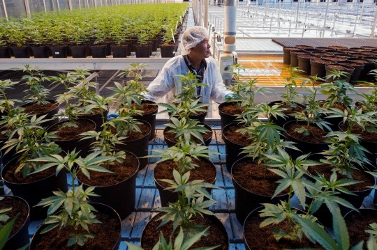 An employee moves a tray with cannabis plants at the Up's cannabis factory in Lincoln, Ontario, on October 12, 2018. - Canada will soon become the second country in the world to legalize cannabis -- with the provinces left to work out the details of Prime Minister Justin Trudeau's landmark measure. (Photo by Lars Hagberg / AFP)LARS HAGBERG/AFP/Getty Images