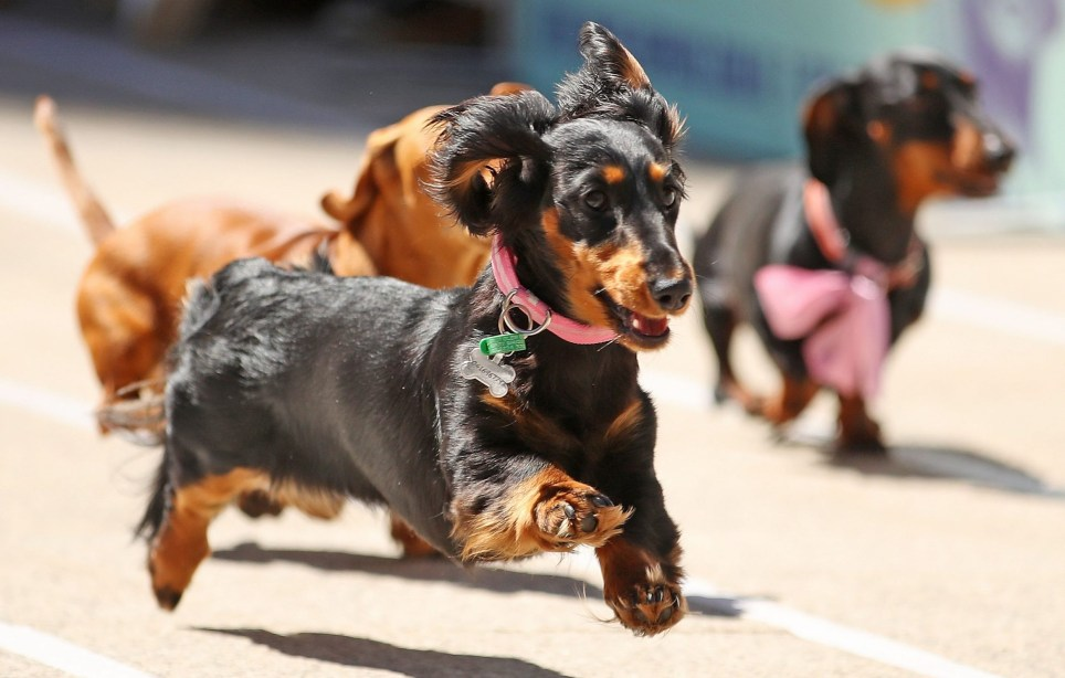 MELBOURNE, AUSTRALIA - OCTOBER 13: Dachshunds run as they compete in the annual Teckelrennen Hophaus Dachshund Race and Costume Parade on October 13, 2018 in Melbourne, Australia. The annual 'Running of the Wieners' is held to celebrate Oktoberfest. (Photo by Scott Barbour/Getty Images)