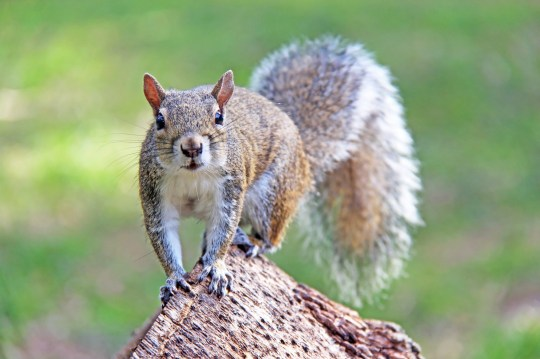 The common name is eastern gray squirrel or grey squirrel and it's the most common squirrel in Florida.
