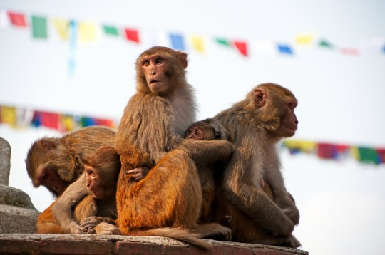The abundance monkeys in Swayambhunath Temple in Kathmandu is also know as The rhesus macaque (Macaca mulatta) is one of the best-known species of Old World monkeys. It is listed as Least Concern in the IUCN Red List of Threatened Species in view of its wide distribution, presumed large population, and its tolerance of a broad range of habitats. Native to South, Central, and Southeast Asia, rhesus macaque troops inhabit a great variety of habitats, from grasslands to arid and forested areas, but also close to human settlements.