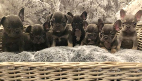 Dad's rant after thieves stole 11 puppies from his children as he