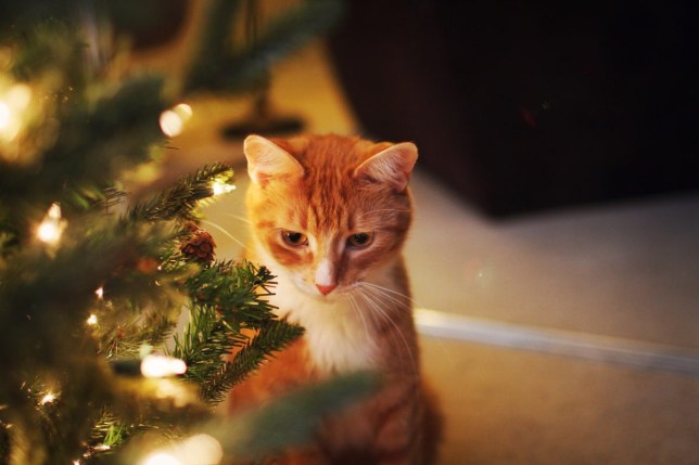 Cat Christmas.How To Protect Your Christmas Tree From Your Cat Metro News
