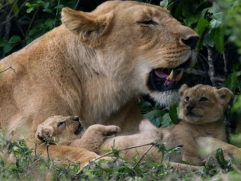 Dynasties viewers compare latest episode to real-life Lion King and our hearts can't take it