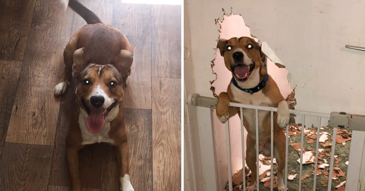 Benny the dog looks a bit pleased with himself after chewing a door to bits