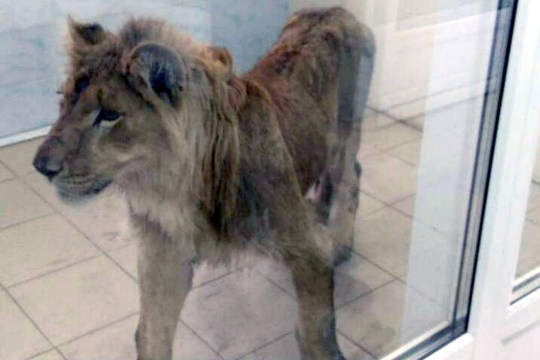 Hungry lion rescued in Irkutsk region
