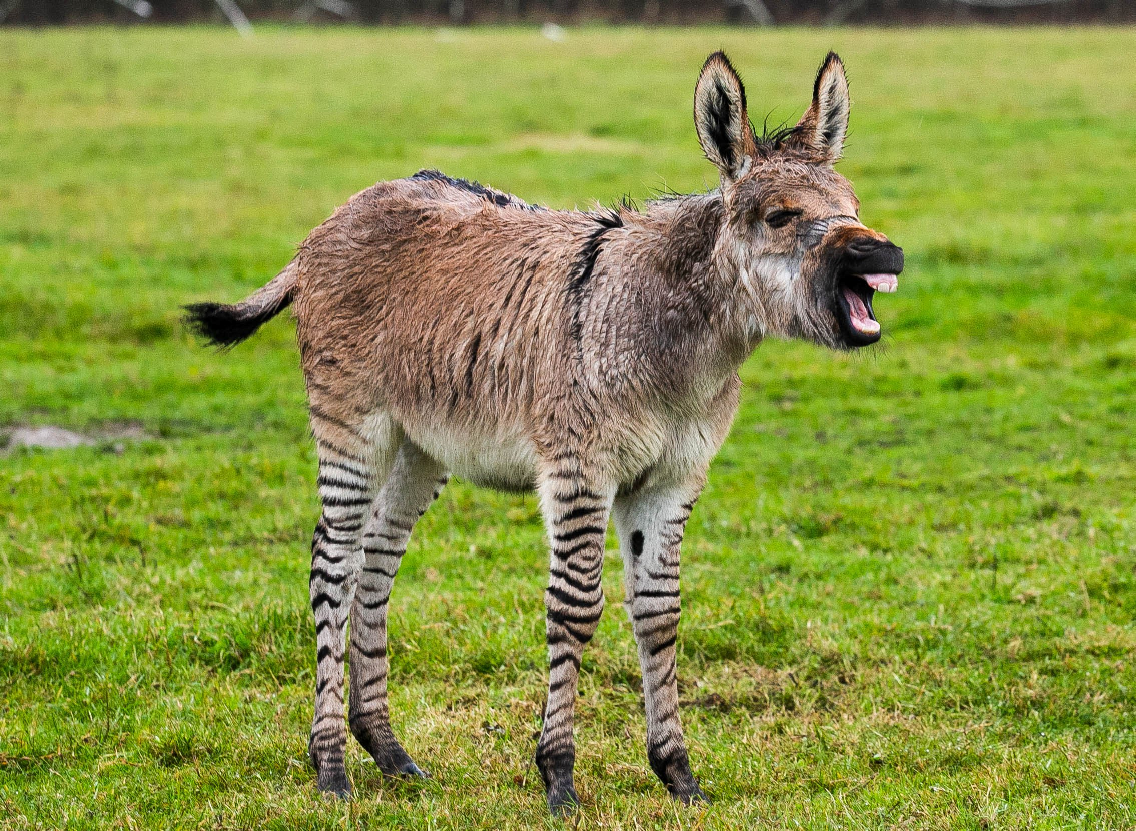Zippy the zonkey in South Barrow, Somerset. Zippy is a cross between a zebra and a donkey and was born on October the 2nd. 04/11/2018 See SWNS story SWBRzonkey Meet Zippy the 'zonkey' - a rare zebra-donkey crossbreed from Somerset. The little cross breed was born on October 2 at Kristine Turner???s 25 acre farm in South Barrow, Somerset. Ziggy shares the fields with his mum and nine other donkeys.