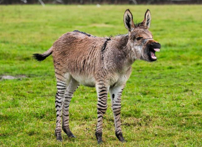 A zebra and a donkey had a baby, Britain's second zonkey