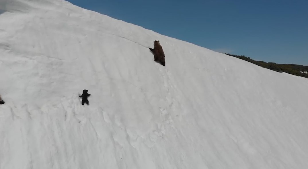 Grabs: A video has gone viral on social media that shows a baby bear trying to reach its mother by climbing a snow mountain.