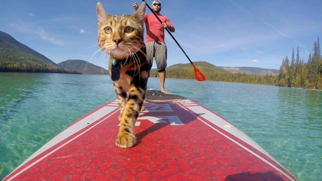 "Meet Logan - a stereotype smashing cat which spends its days PADDLEBOARDING on some of Canada's most beautiful lakes. See SWNS story SWNYpaddle; The two-year-old Bengal cat fell in love with the water sport after his owner JD Batbatan, 34, brought him on a paddle boarding trip to their local lake. JD, a critical care nurse, had read that Logan?s breed sometimes enjoyed water and decided to put his research to the test on Kalamalka Lake in March 2017. The daring cat, then five months old, loved the experience so much that JD, of Vernon, British Columbia, Canada now brings him on all of his paddle boarding adventures. JD says Logan isn?t the only animal to fall in love with the hobby as the cat often is joined by Yoda, a four-year-old pygmy goat, owned by the nurse?s pal Shanda Hill. JD said: ""When he was about five months old I took him with me paddle boarding.""He really enjoyed the water and the trees. ""It felt like a really natural thing so I kept on bringing him. ""I never thought it wasn?t normal until people started looking at me and taking photos. They can?t believe he loves paddle boarding."