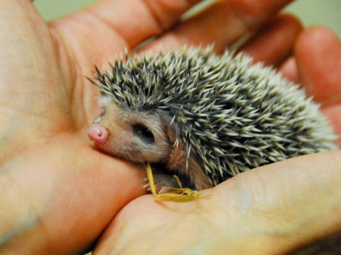Please stop what you're doing to look at these adorable baby hedgehog quintuplets