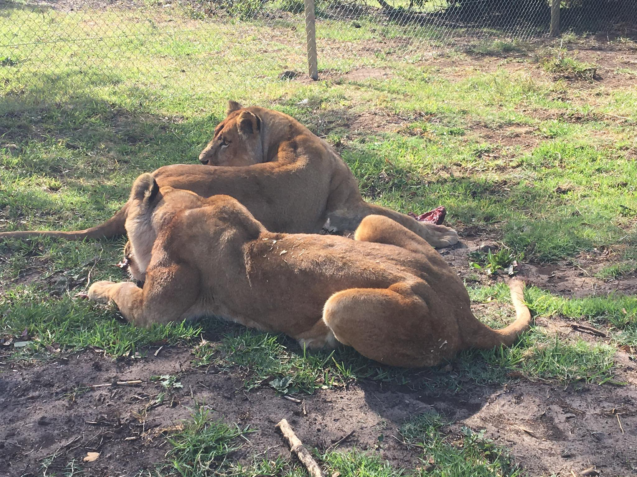 Former circus lions take their first steps of freedom after being rescued from captivity