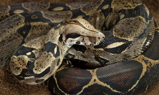 Boa constrictor on the loose in Lincolnshire Close up of Boa constrictor imperator - nominal Colombia - colombian redtail boas, females