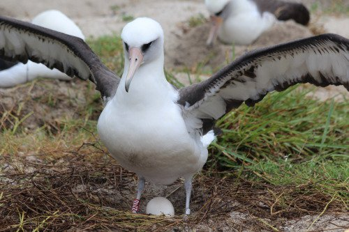 Wisdom, a Laysan albatross and world?s oldest known wild bird has returned to Midway Atoll National Wildlife Refuge and Battle of Midway National Memorial! She first appeared back at her traditional nest site on November 29 and biologists on Midway have confirmed that she has laid an egg. Wisdom was first banded as an adult in 1956, and although she is at least 68 years old, she is still laying eggs and raising chicks. Wisdom and her mate Akeakamai return to the same nest site on Midway Atoll each year. Albatross often take time off to rest between egg-laying years, but the pair have met on Midway to lay and hatch an egg every year since 2006. Wisdom?s Photo Album Through Time Wisdom spends 90% of her life at sea where she soars over the ocean for days on end and rests on the waves to feed on squid and fish eggs. Like all albatross, she returns nearly every year to the place she was born. For Wisdom, and over a million other Laysan albatross, that place is Midway Atoll National Wildlife Refuge and Battle of Midway National Memorial. Biologists call this type of behavior ?nest site fidelity,? and it makes preserving places with large colonies of birds critically important for the future survival of seabirds like Wisdom.