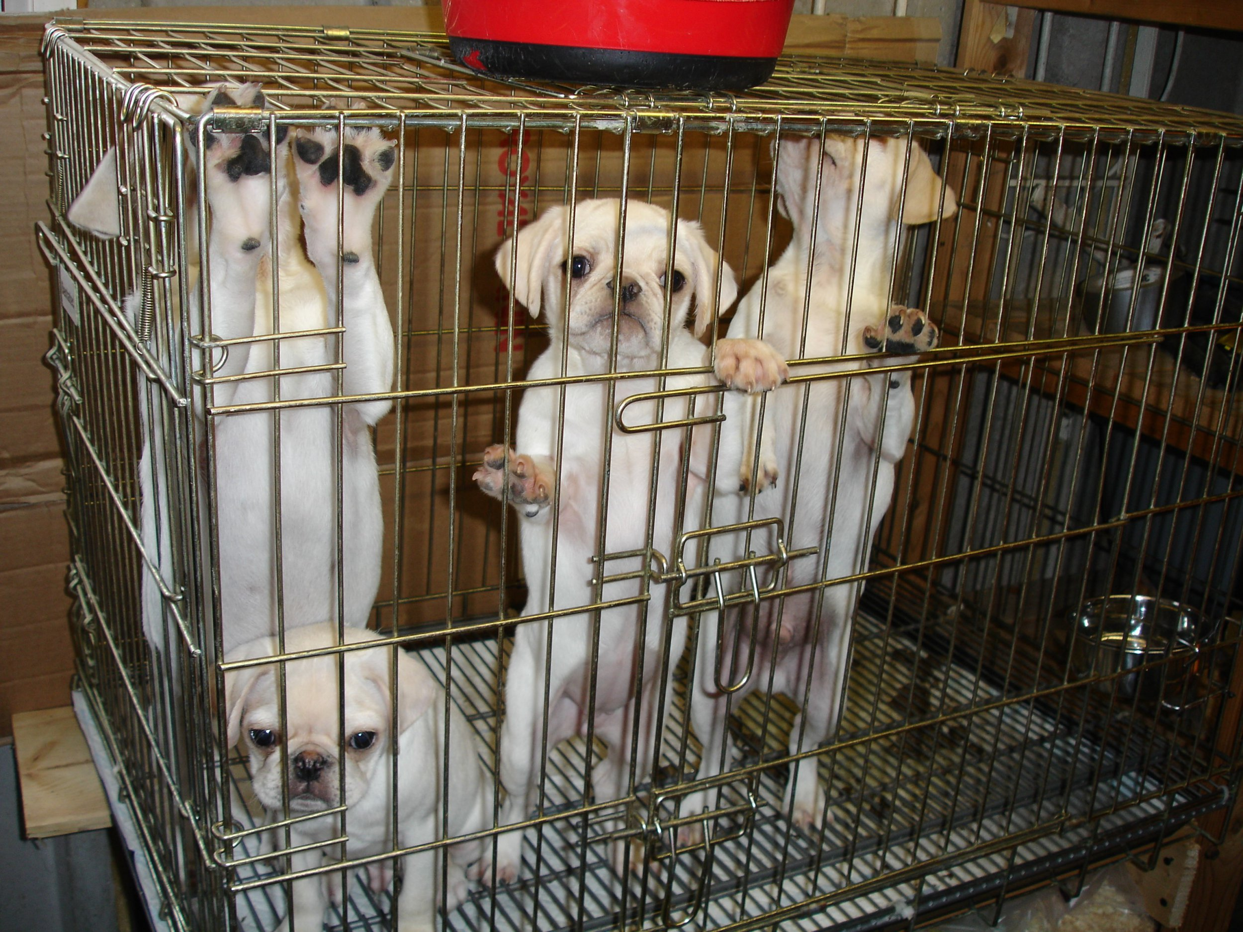 Pictured are some of the cats and dogs rescued from the couple's home by the RSPCA. Two EU migrants Laura Kiseliova, aged 39, and Raimondas Titas, aged 37who illegally sold ???designer puppies??? for up to ??1,000 each to unwitting British customers have been ordered to be locked away in the UK - despite them using freedom of movement laws to flee Britain. Disclaimer: While Cavendish Press (Manchester) Ltd uses its' best endeavours to establish the copyright and authenticity of all pictures supplied, it accepts no liability for any damage, loss or legal action caused by the use of images supplied. The publication of images is solely at your discretion. For terms and conditions see http://www.cavendish-press.co.uk/pages/terms-and-conditions.aspx